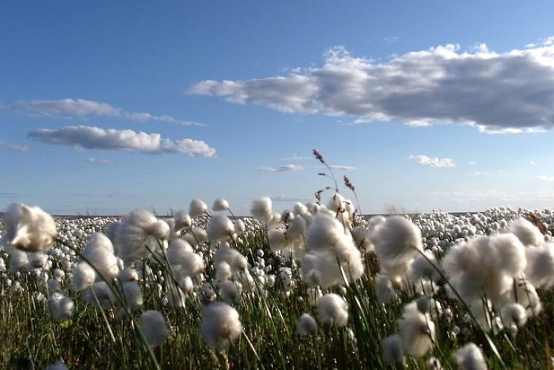 Ekologia stała się modnym hasłem, które bardzo często jest pozorne. Wiele plantacji bawełny czy innych roslin pochodzi z upraw GMO. Fot.: Mike Beauregard/ Wikimedia Commons