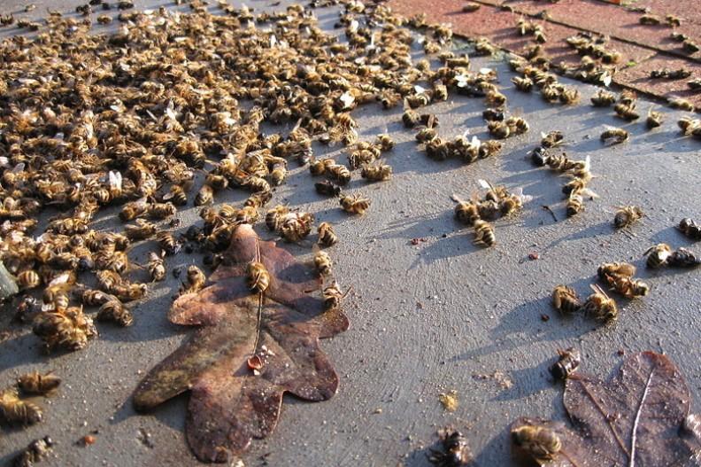 Czy uda się powstrzymać masowe ginięcie pszczół?   Fot.: Skinkie/ CC0 1.0 Universal Public Domain Dedication/Wikimedia Commons